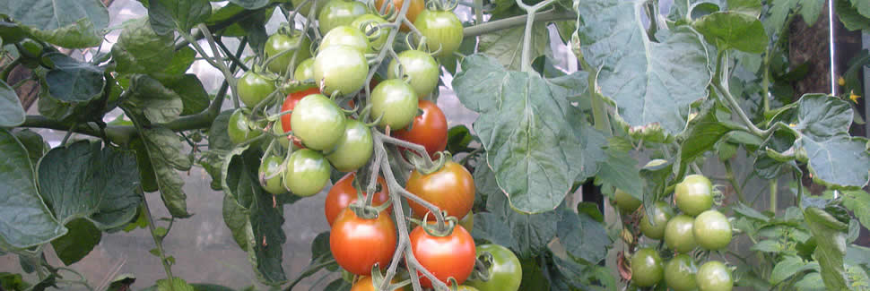 A good selection of tomato plant varieties from Calstock Nursery